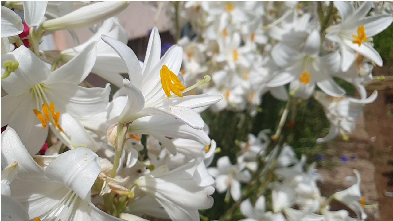 Бели крин