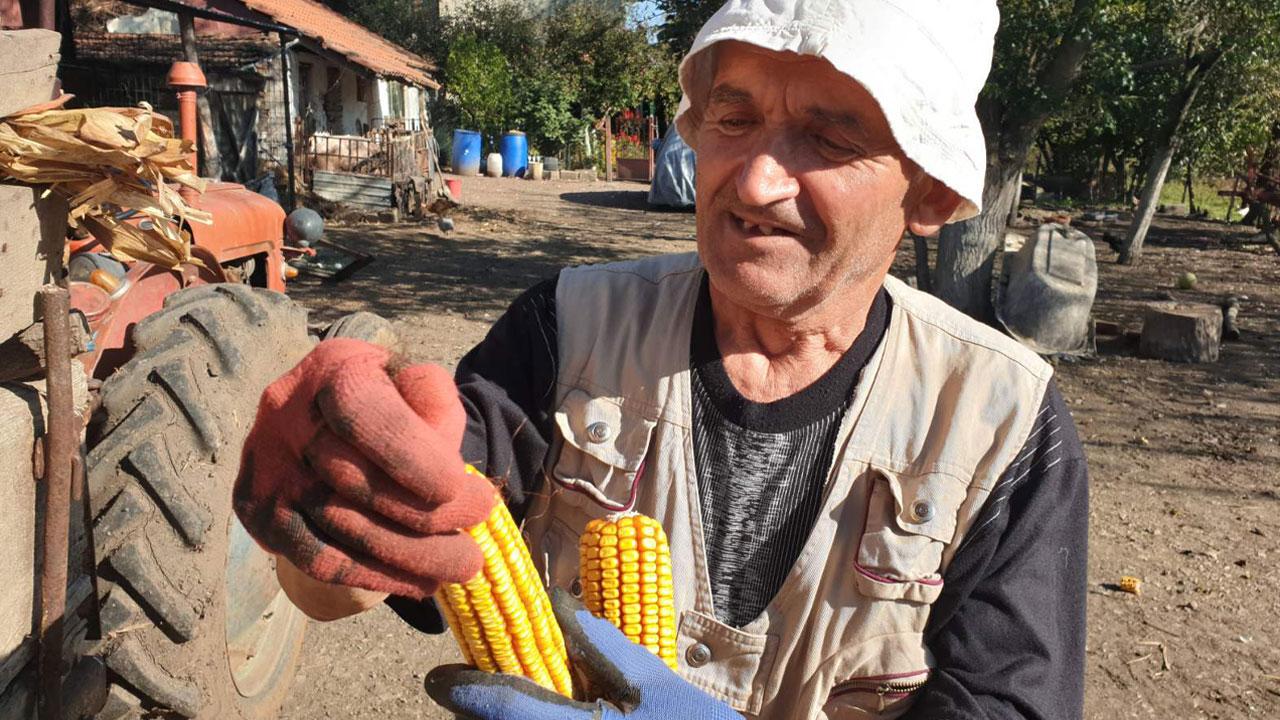 берба кукуруза